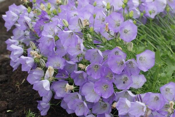Колокольчики цветы сорт