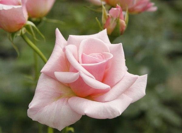 Розы самые популярные