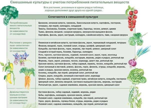 Им хорошо друг с другом, или О совместимости овощных культур.